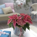News  Dzień pełen gwiazd - 12 grudnia - Dzień Poinsecji